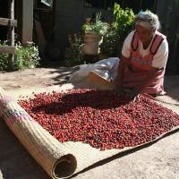 fair-trade-coffee-beans-drying